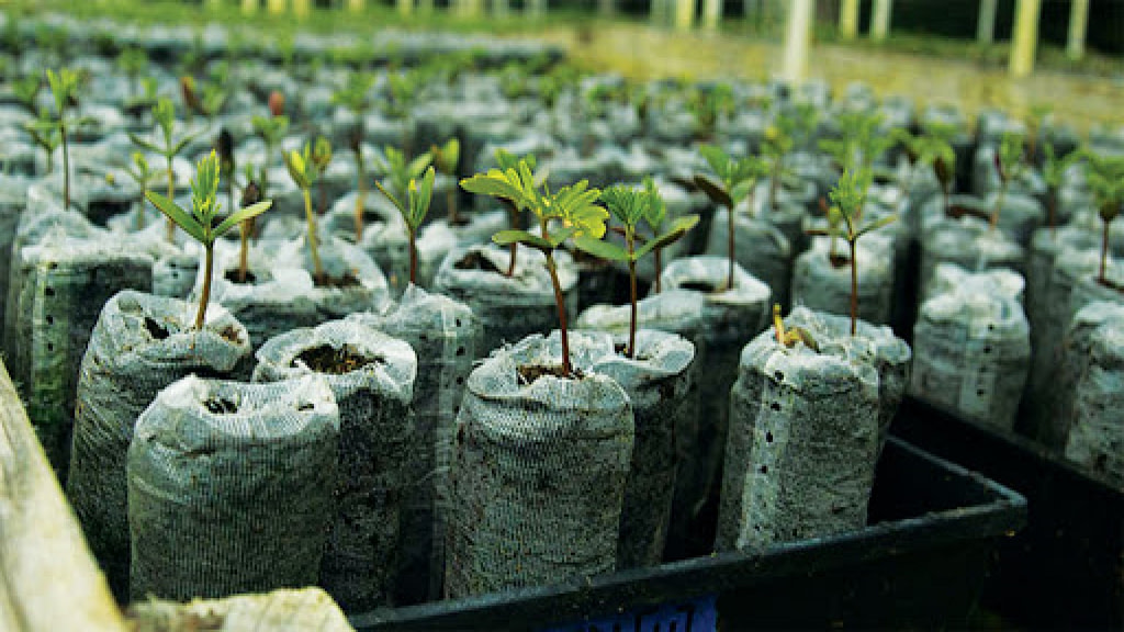 koa tree sapling planted by rising sun solar